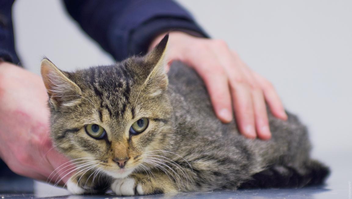 абсцесс у кошек, лечение абсцесса у кошек