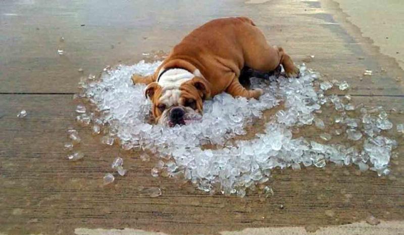 перегрев у собаки, собака в жару, тепловой удар
