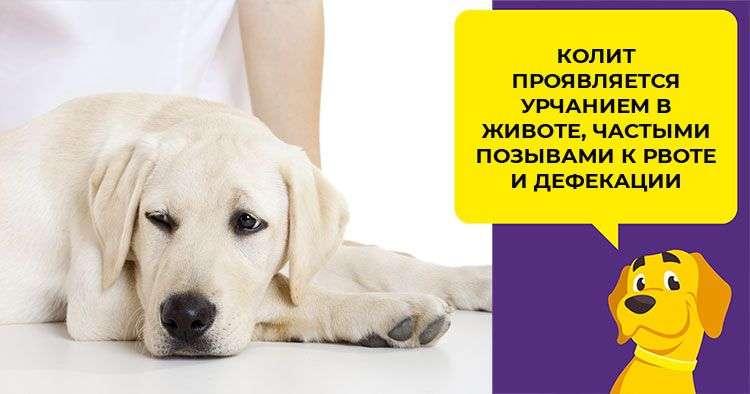 колит у собак