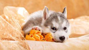 Почему щенок вялый