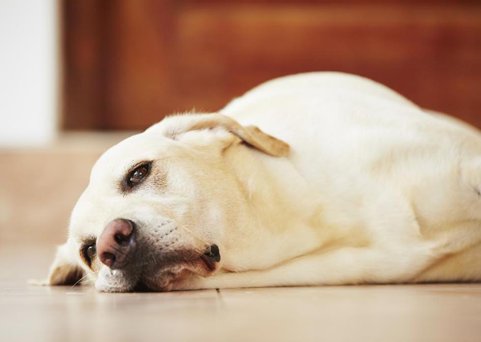 Собака теряет сознание