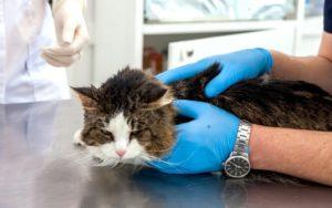 Вирусная панлейкопения у кошек